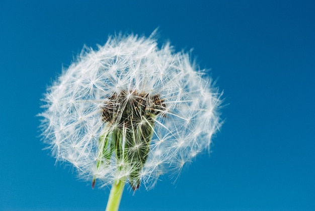 Dandelion close up in blue sky background