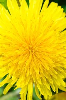민들레를 닫습니다. 푹신한 노란색 꽃 봉오리가있는 민들레 식물. 지상에서 성장 하는 노란 꽃의 매크로 사진입니다. 화창한 봄날.