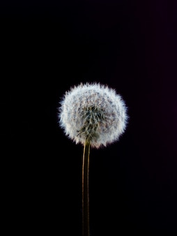 Dandelion. close up.