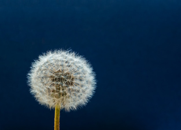 Dandelion. close up