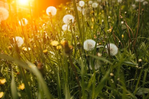 Dandelion flower against the background of the summer landscape