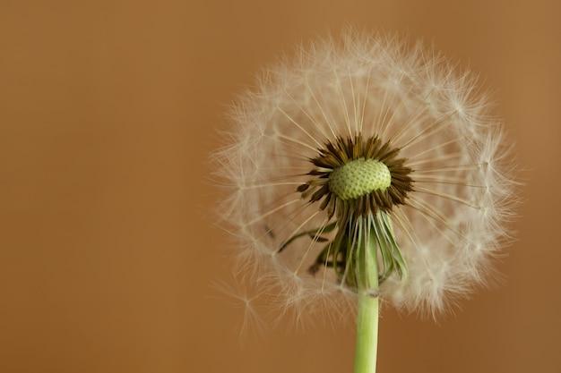 Dandelion flower on brown background