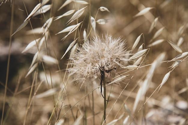 タンポポの花は麦畑のクローズアップ