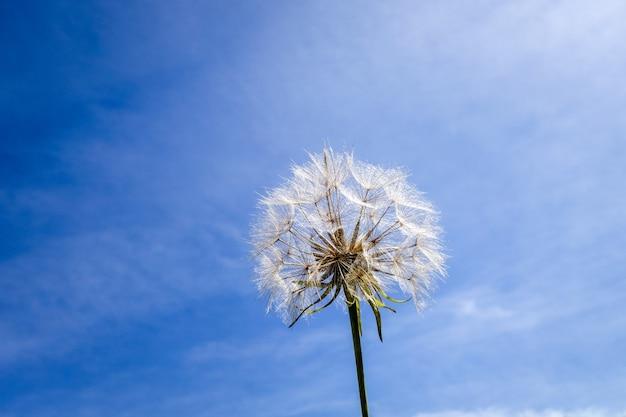 Цветок одуванчика крупным планом силуэт над голубым небом