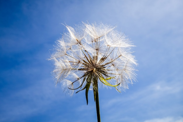 タンポポの花は青い空の上のシルエットをクローズアップ