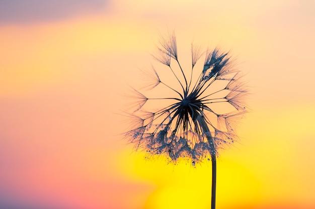 아침 이슬 방울과 밝은 백라이트에 민들레 꽃. 자연과 꽃 식물학