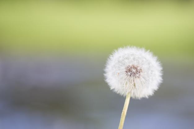 Цветок одуванчика в природе