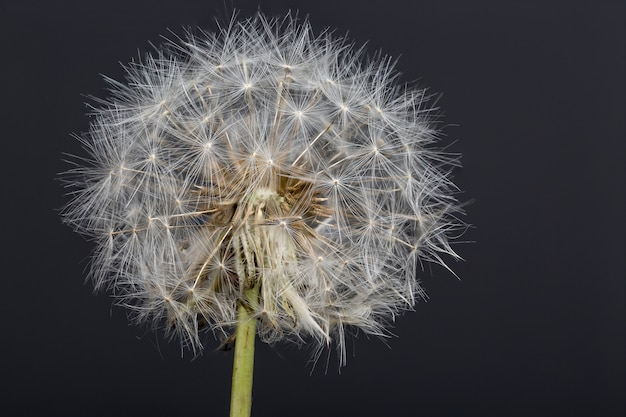 Dandelion flower macro photography with dark background
