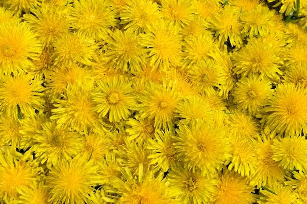 タンポポの花の自然な黄色のパターンやテクスチャをクローズアップ。黄色い花と葉の上面図と春の日当たりの良い背景