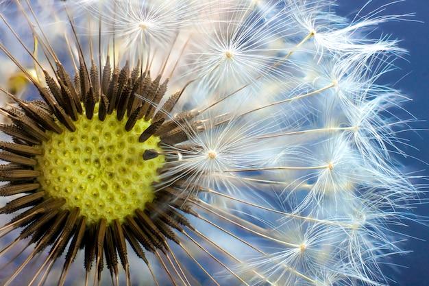 Dandelion flower seed closeup with blurred scene