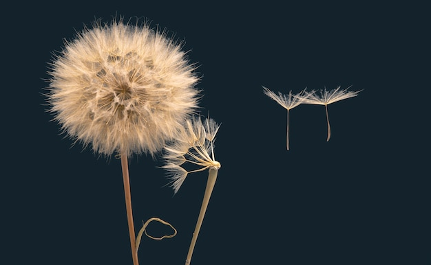 タンポポの花の種が花の根元から飛び去る