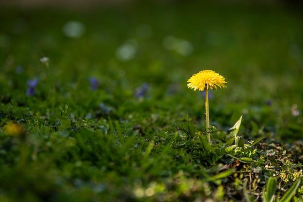 봄에 푸른 풀로 둘러싸인 민들레 꽃