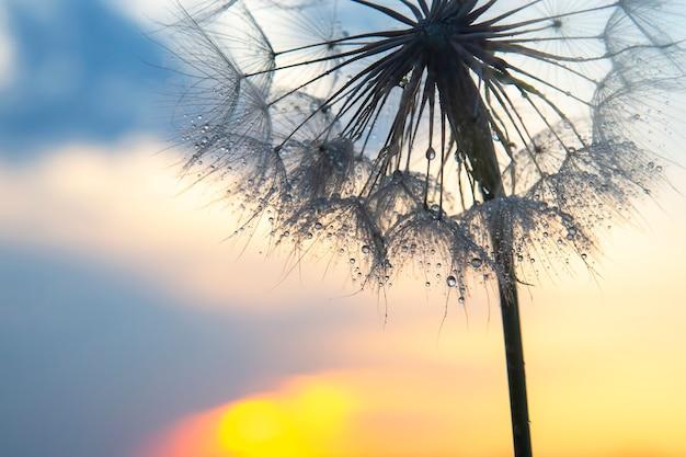 태양의 배경에 아침 이슬 방울과 민들레 꽃. 자연과 꽃 식물학