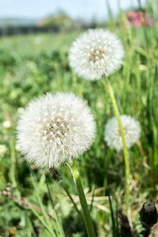 タンポポの綿毛。タンポポの静かな抽象的なクローズアップアートの背景。タンポポエアホワイト美しい牧草地の花