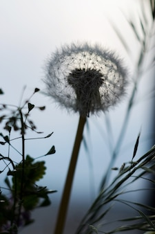 Dandelion and grass on a background of blue sky