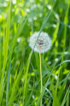 Dandelion in grass on spring with green natural