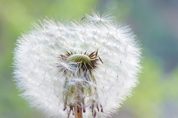 Dandelion in the green field.