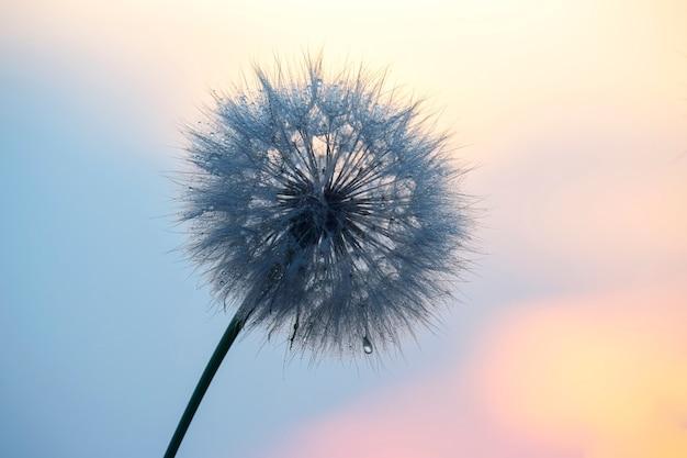 아침이 슬 방울과 백라이트에 민들레입니다. 자연과 꽃 식물학