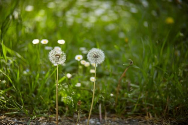 꽃으로 변하는 무자비한 단계의 민들레