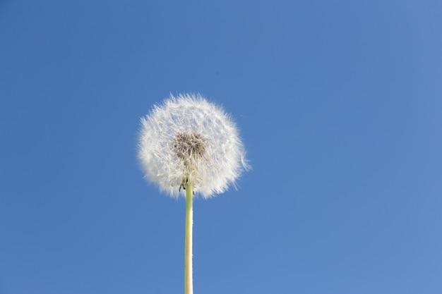 タンポポが分離されました。青い空に夏のタンポポ