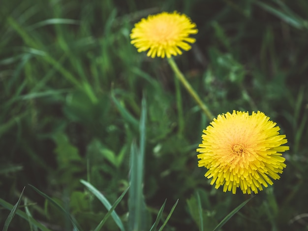 Dandelion. nature background.