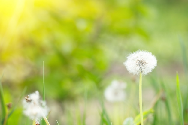 Dandelion in the nature with solar light