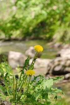 森の川の近くのタンポポ。
