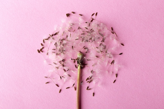 Dandelion near to seeds on a pink background, closeup image