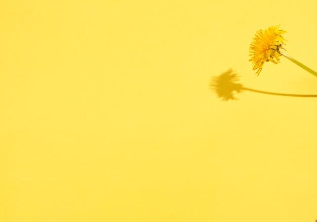 ハードシャドウと黄色の背景にタンポポ。季節性のコンセプト、春。フラットレイ、コピースペース、テキストの場所。