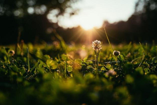 여름 날에 햇빛 배경에서 초원에 민들레.