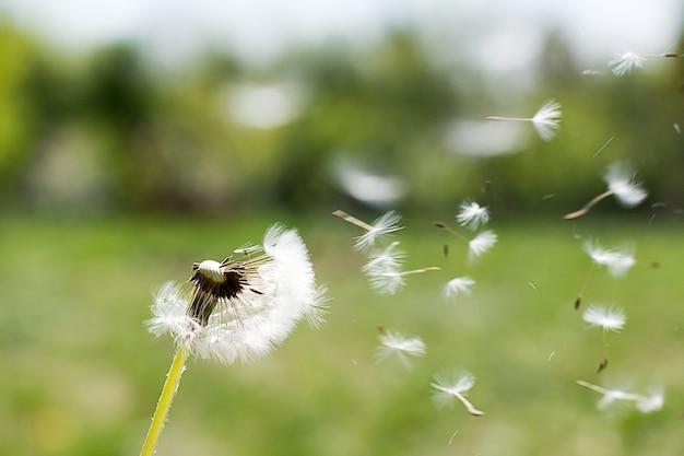 風のタンポポ。タンポポの綿毛。タンポポの静かな抽象的なクローズアップアートの背景。タンポポエアホワイト美しい牧草地の花