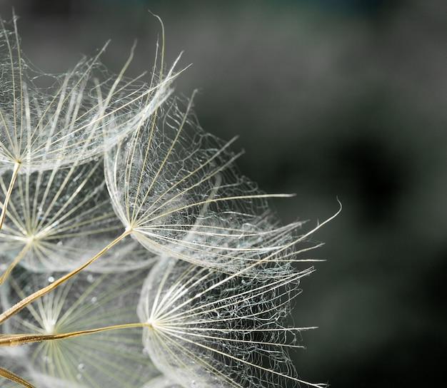 Фон семян одуванчика. семя макро крупным планом. весенняя природа
