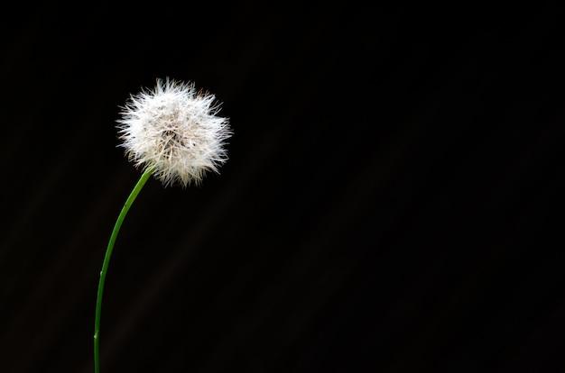 Dandelion seed isolated on dark