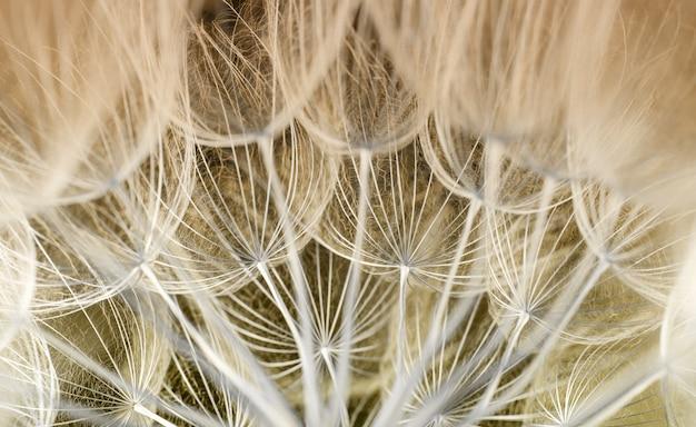 Dandelion seed. seed macro closeup. spring nature