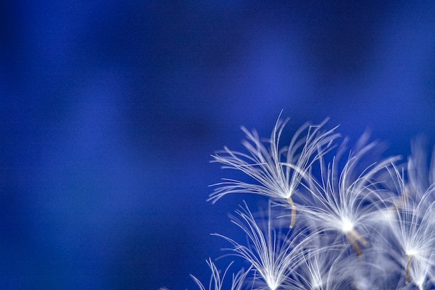 Dandelion seeds on an abstract blue background