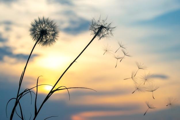 민들레 씨앗이 일몰 하늘을 배경으로 날고 있습니다. 자연의 꽃 식물학