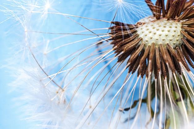 Dandelion seeds blowing in wind in summer on blue