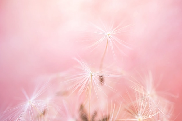 Dandelion seeds close-up on colored background