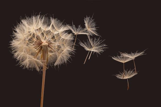 タンポポの種が風に乗って花から飛び去る