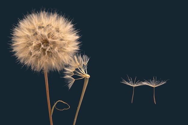 Семена одуванчика улетают от цветка на ветру