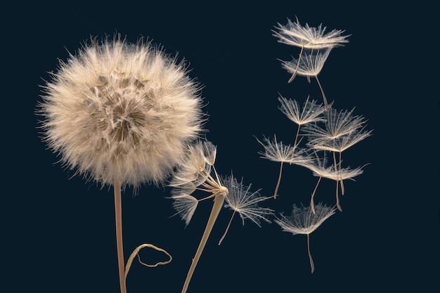 Семена одуванчика летят из цветка на синем фоне. ботаника и распространение цветения.