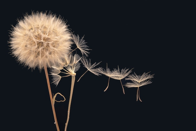 Dandelion seeds fly from a flower on a dark blue.