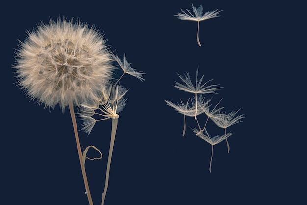 Dandelion seeds fly from a flower on a dark blue