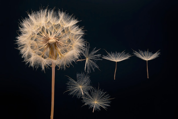 Dandelion seeds flying next to a flower on black