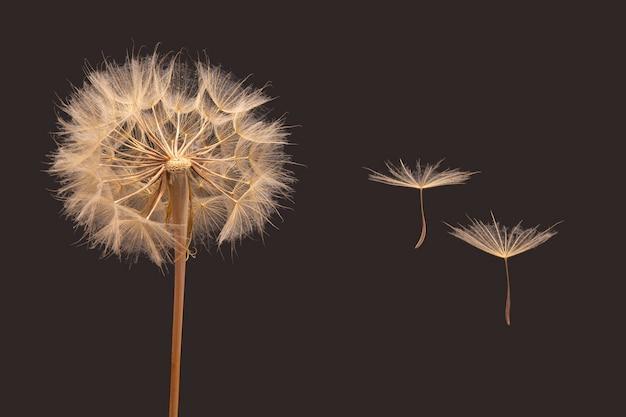 暗い背景の花の横に飛んでいるタンポポの種子