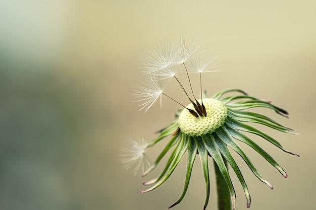 Dandelion seeds in the garden, close up.