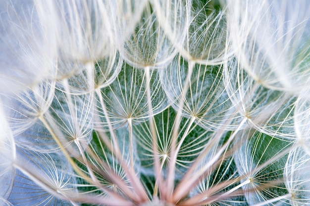Dandelion seeds in the green background