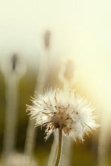 自然の中でタンポポの種。花の背景。