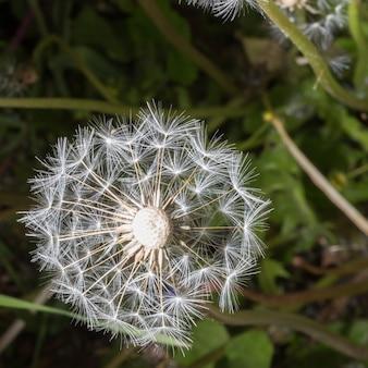 Семена одуванчика в утреннем солнечном свете, дует на черном фоне.