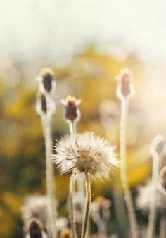 Dandelion seeds in nature.flower background.